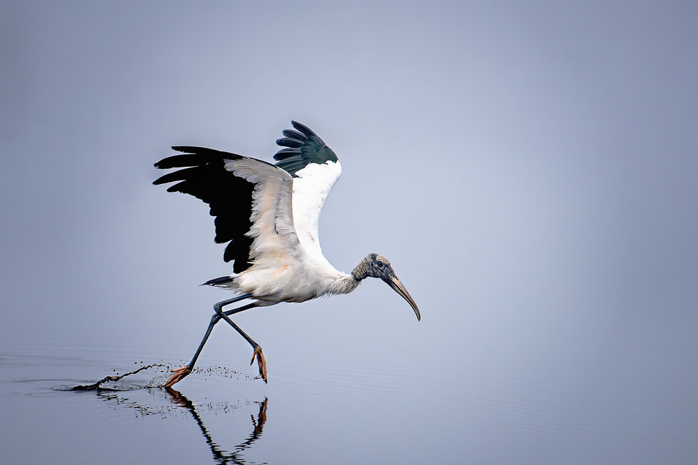 Wood Stork ©BrianRiveraUncapher.jpg