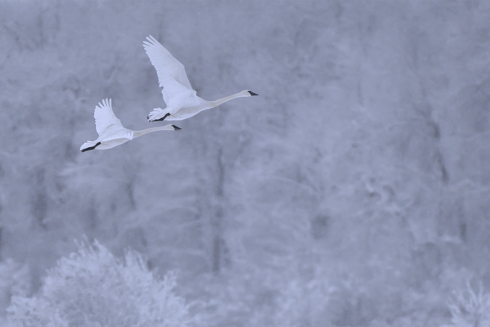 Trumpeter Swans, Sandhill Cranes, Owls, and More
