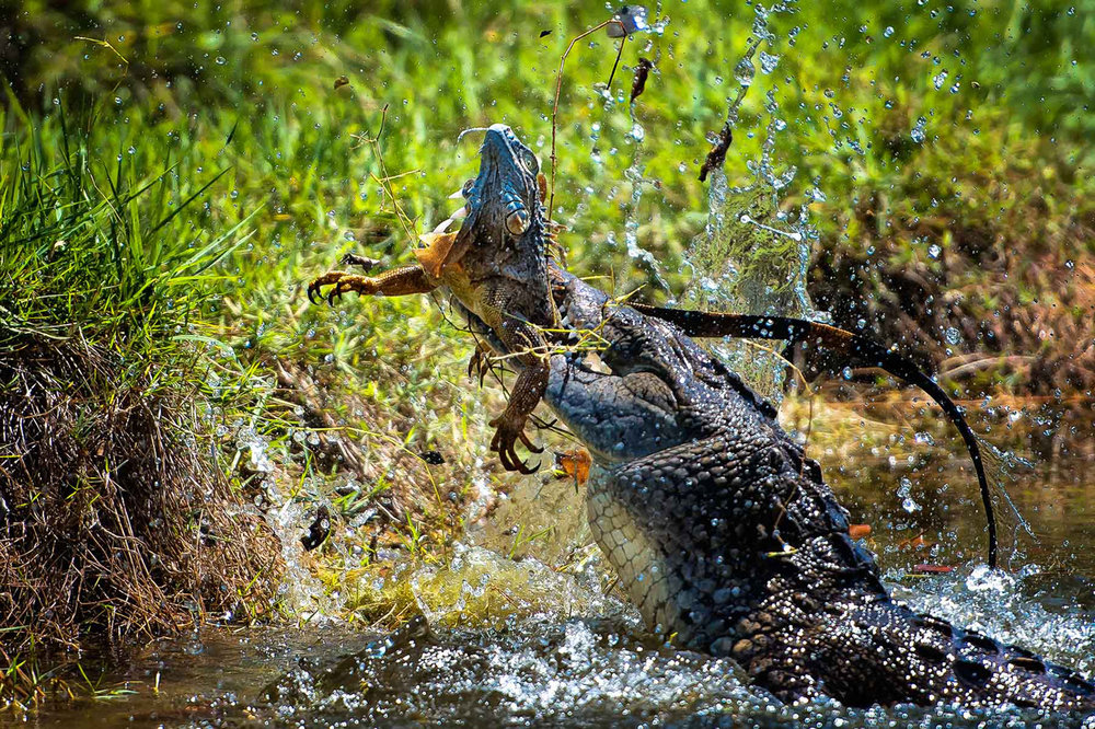 Alligator and Prey_RBR.jpg