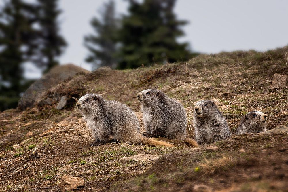 Marmots©BrianRiveraUncapher.jpg
