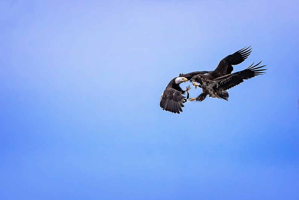 Eagles©BrianRiveraUncapher.jpg