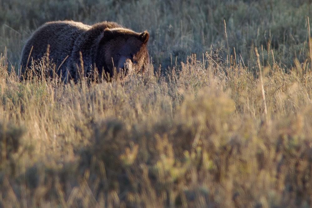 Grizzly©BrianRiveraUncapher.jpg