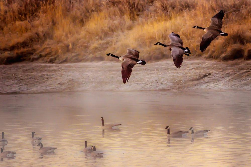 Canadian Geese.jpg