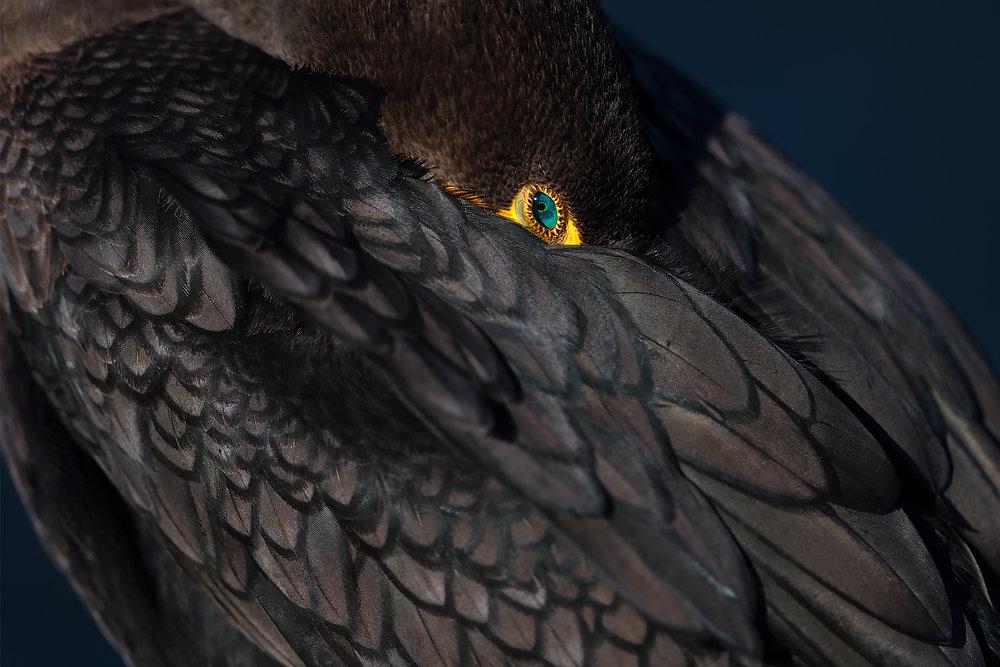 Cormorant Nature's Jewel©BrianRiveraUncapher.jpg