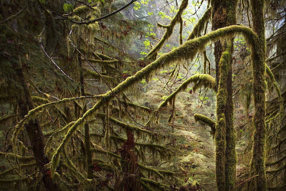 QuinaultRainforest©BrianRiveraUncapher.jpg
