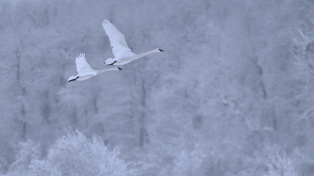 Alaska Trumpeter Swans  © Brian Rivera Uncapher.jpg