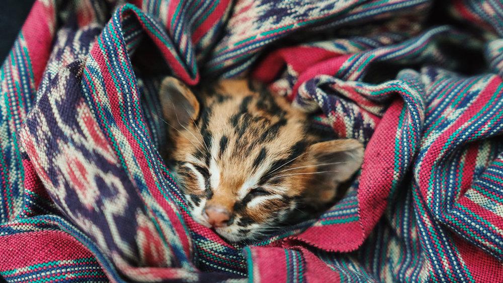 Asoka Remadja Katun Kucing Hutan-3.jpg