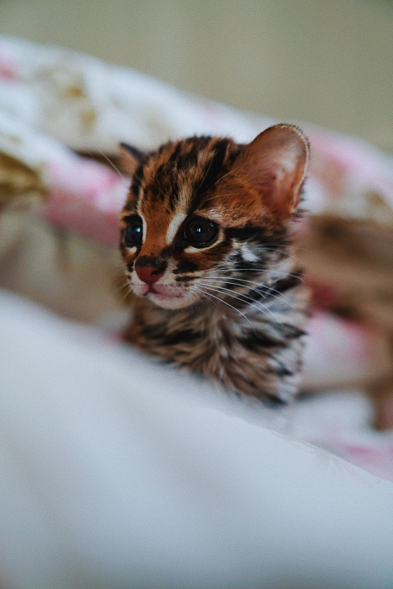 Asoka Remadja Katun Kucing Hutan-10.jpg