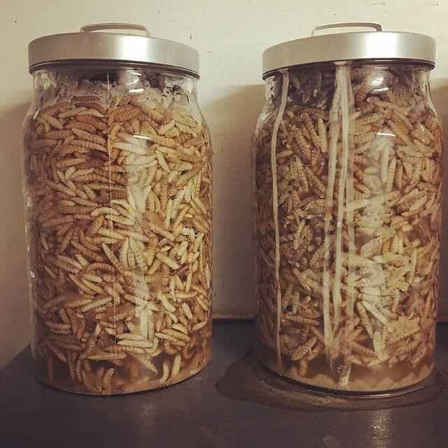 Fermentering er moderne, larver er moderne - vi er moderne.. #enormmoderne #fermentering #moderne