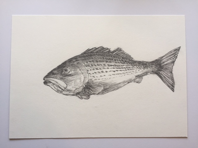"Striper, pencil on paper, 7"" x 10"""