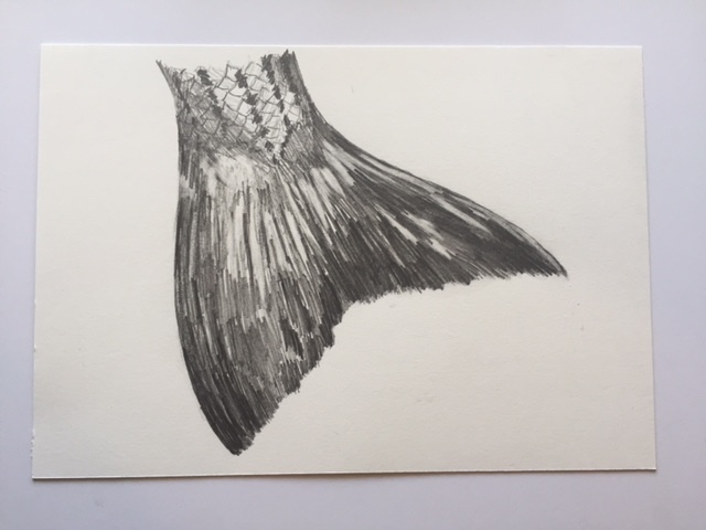 "Striper (Broom Tail), pencil on paper, 7"" x 10"""