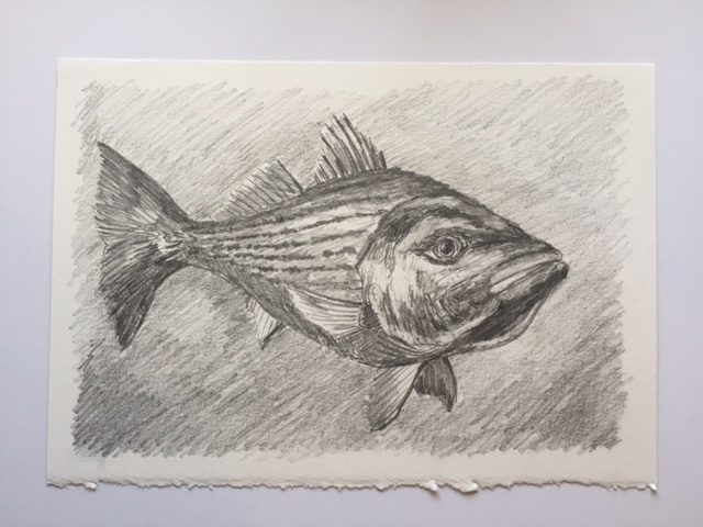"Swimming Striper, pencil on paper, 7"" x 10"""