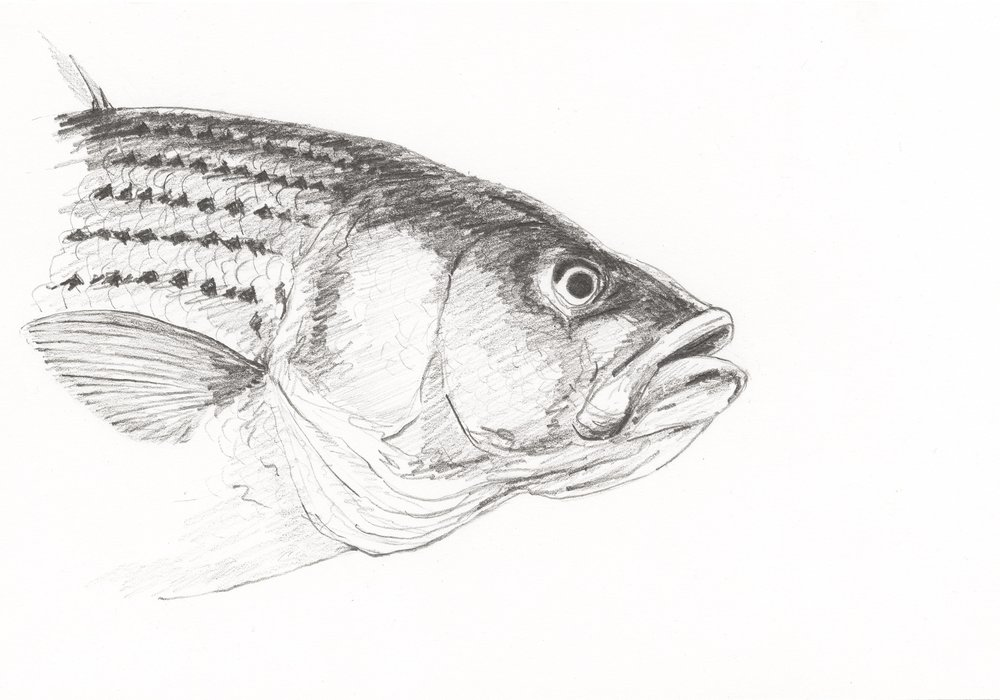 Striper (portrait)