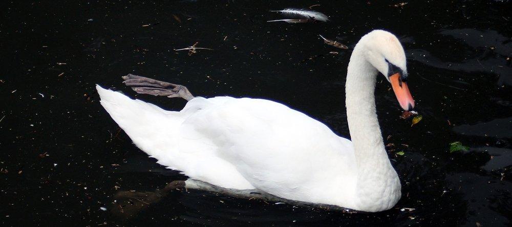 swan-2531813_1280.jpg