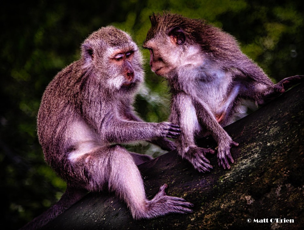 Two Macaques Discuss The Worsening Euro Situation