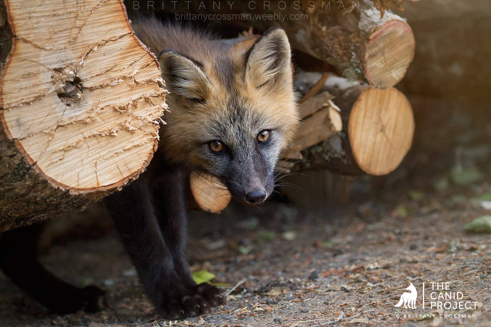 A CROSS FOX KIT PEEKS OUT FROM HIS DEN SITE, A MANMADE WOOD PILE.