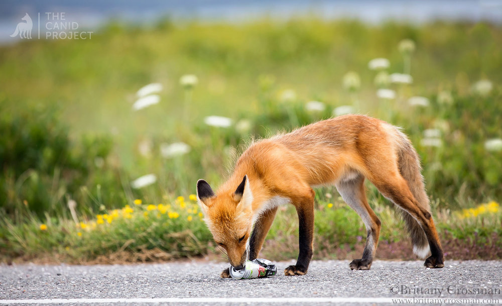 A RED FOX LICKS THE ALUMINUM CAN OF A SWEET SOFT DRINK, THROWN ON THE GROUND BY A PASSING VEHICLE