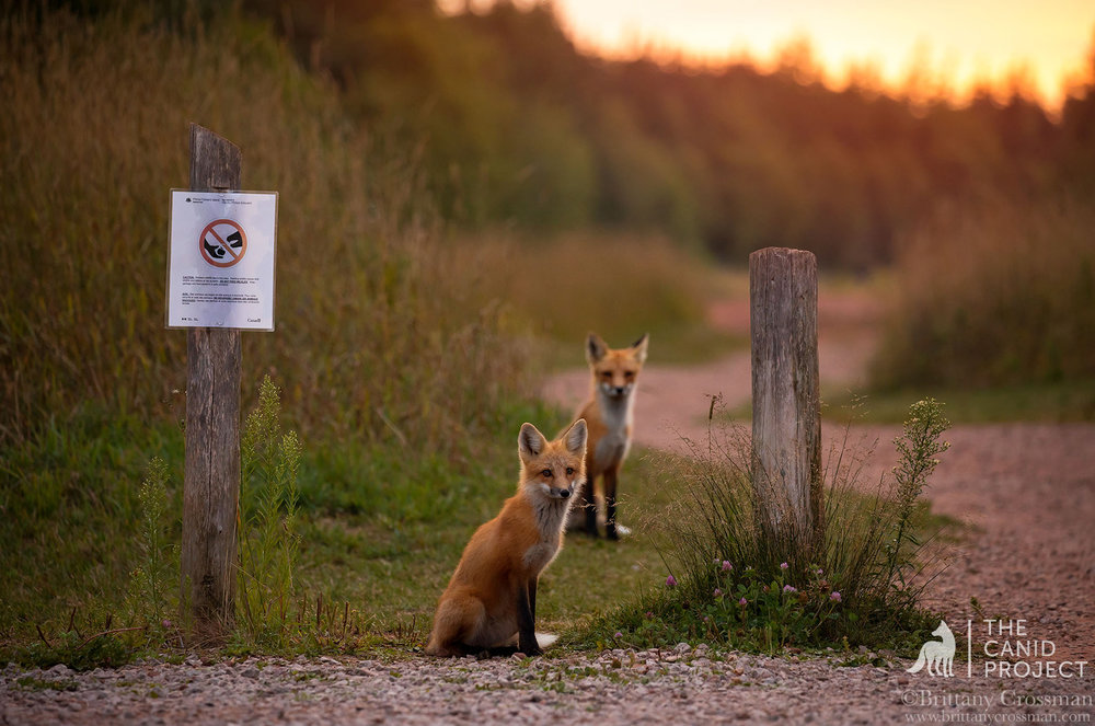 "A FATHER FOX AND HIS KIT LOOK FOR HAND OUTS  NEXT TO A ""DO NOT FEED FOXES"" SIGN AT A TRAIL HEAD IN PRINCE EDWARD ISLAND NATIONAL PARK."