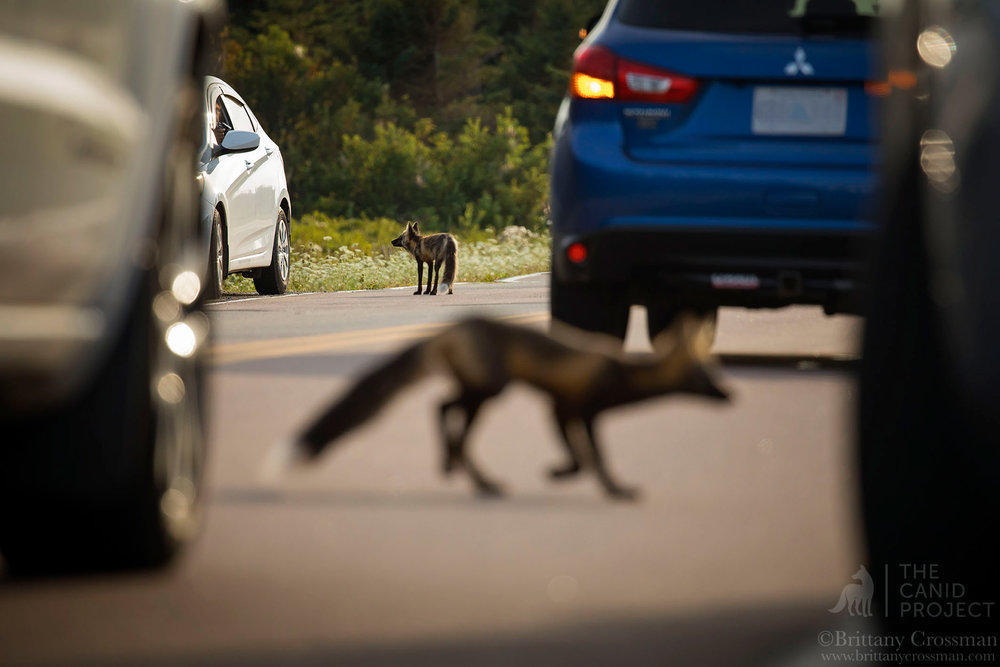 FEEDING FOXES FROM CARS IS DANGEROUS BUSINESS.  MANY RED FOXES LOSE THEIR LIVES TO VEHICLE COLLISIONS.  IN SOME AREAS IT IS THE #1 CAUSE OF MORTALITY.