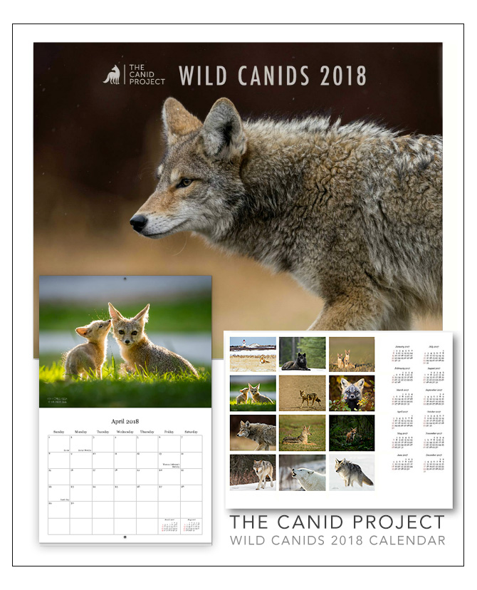 The 2018 Wild Canid Calendar is Here!   - Help contribute to The Canid Project by purchasing our annual Wild Canids Calendar! The Canid Project's 2018 Wild Canids Calendar features our contributors beautiful canid images from around the world, as well as one winning image by photographer Harry Collins. Get your calendar in the SHOP!