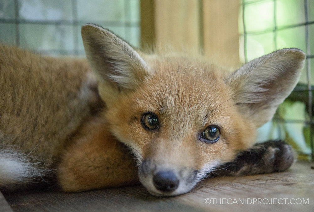 We need a new enclosure!  - Please consider helping us build the new fox enclosure which is desperately needed for our young foxes. Also, in order for us to take in new orphaned or injured foxes, we must have this new enclosure! Please visit our New Enclosure Page: H