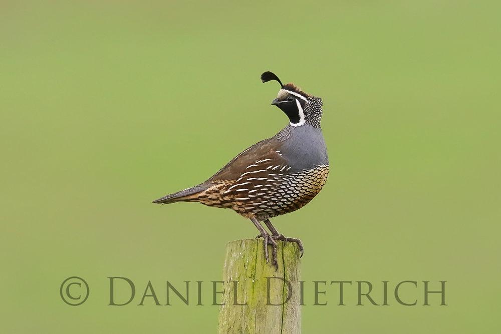 pr-quail.jpg