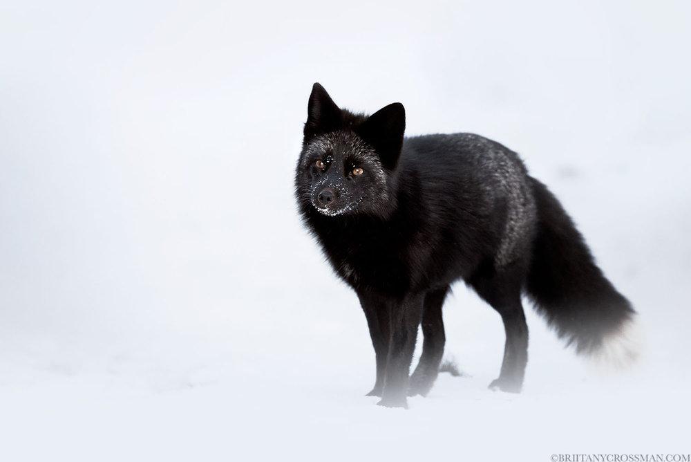 Silver fox vixen 01 - print.jpg