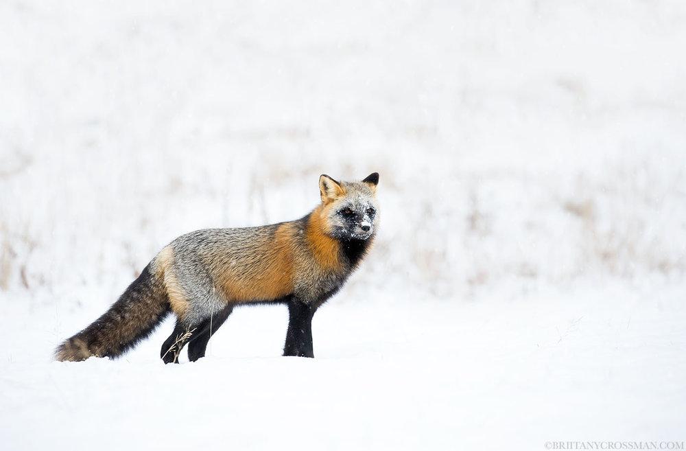 Snowy cross fox 01 - print.jpg
