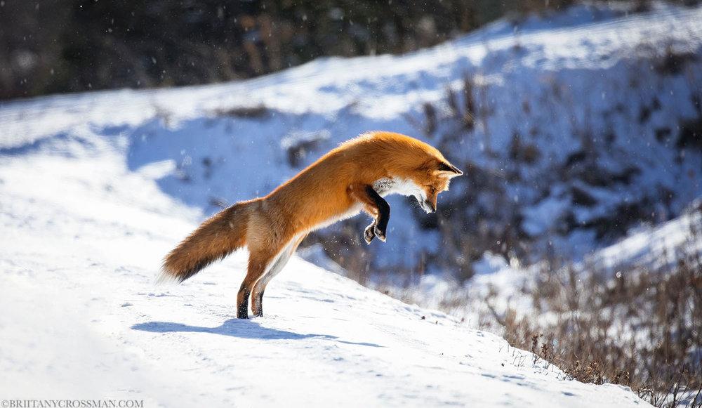 Mousing fox 01 -print 2 c.jpg