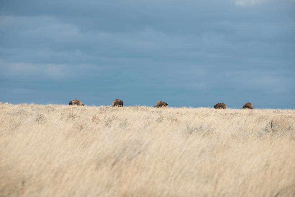 Rhys Morgan Images_American Prairie Reserve-6674.jpg