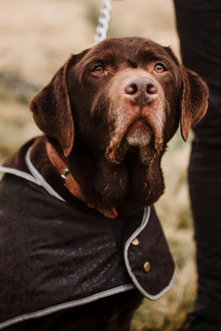 Closeup portrait of Labrador. Lancashire photography