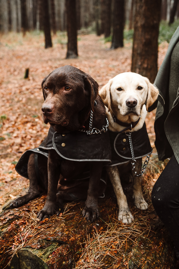 Dog portrait of two labradors in the woods at Hurstwood, Burnley.