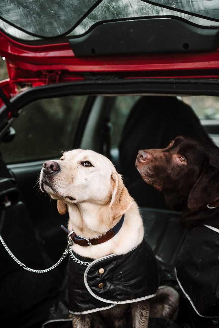 Portrait of labradors together in the car.