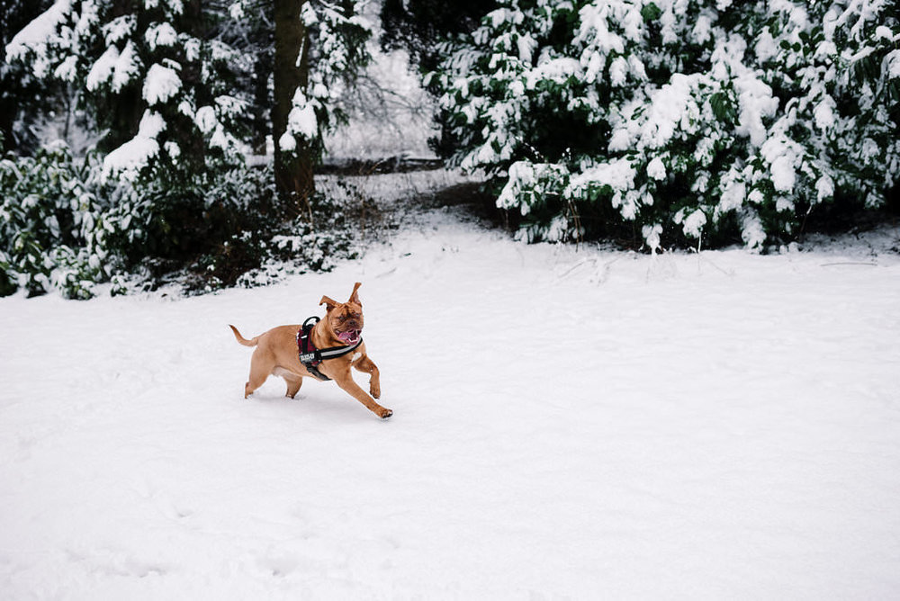 Lancashire dog photography. Douge de Bordeaux playing in the snow at White Hall Park, Darwen.