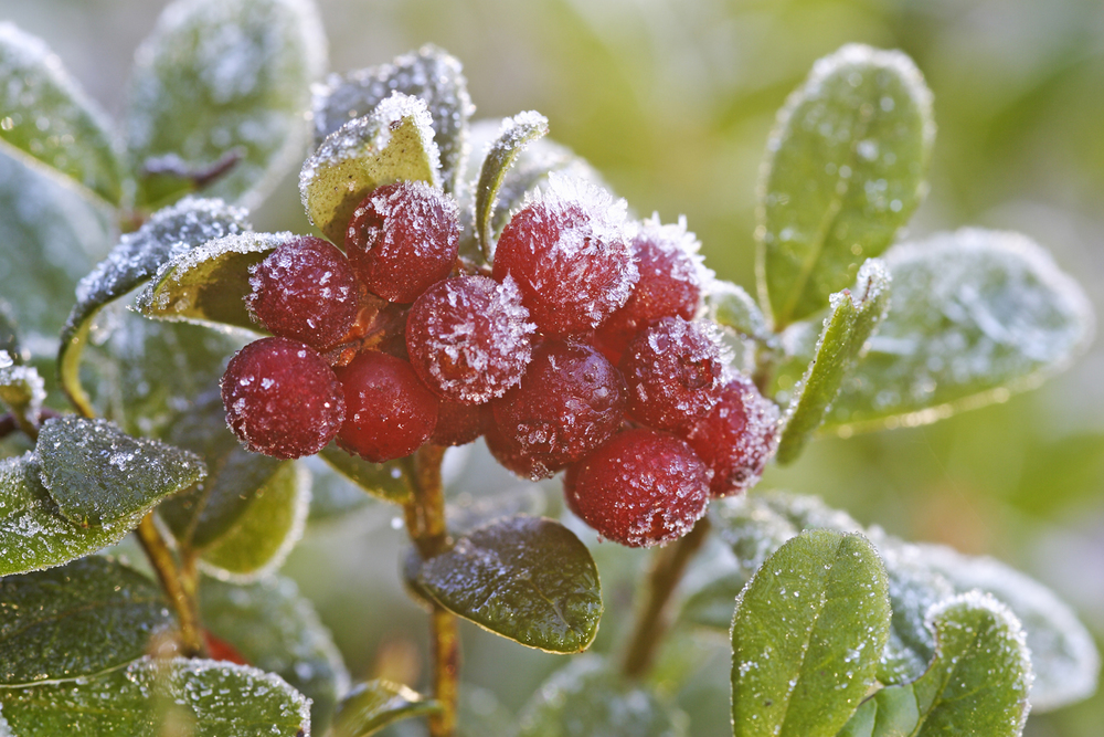 Visit Finland Frosted Lingonberries.jpg