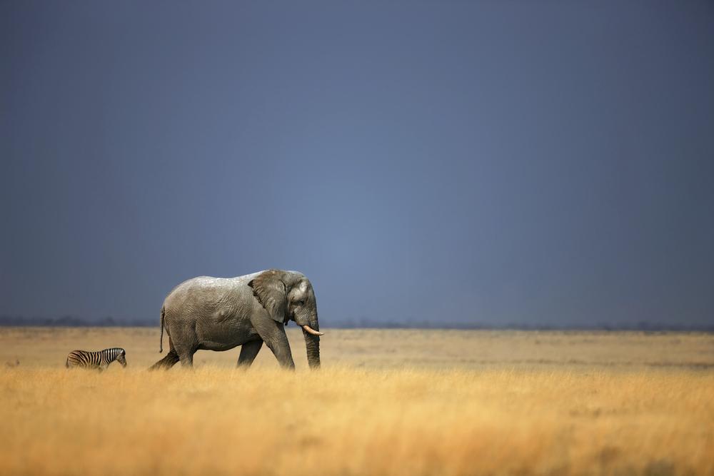 elephant-iStock_000010720265Large.jpg