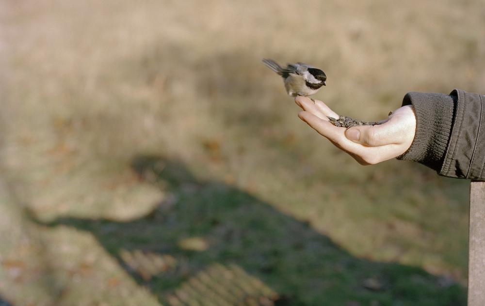 Chickadee VI