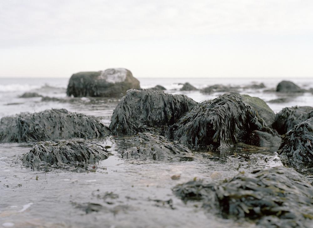 Kelp in the winter at Montauk I