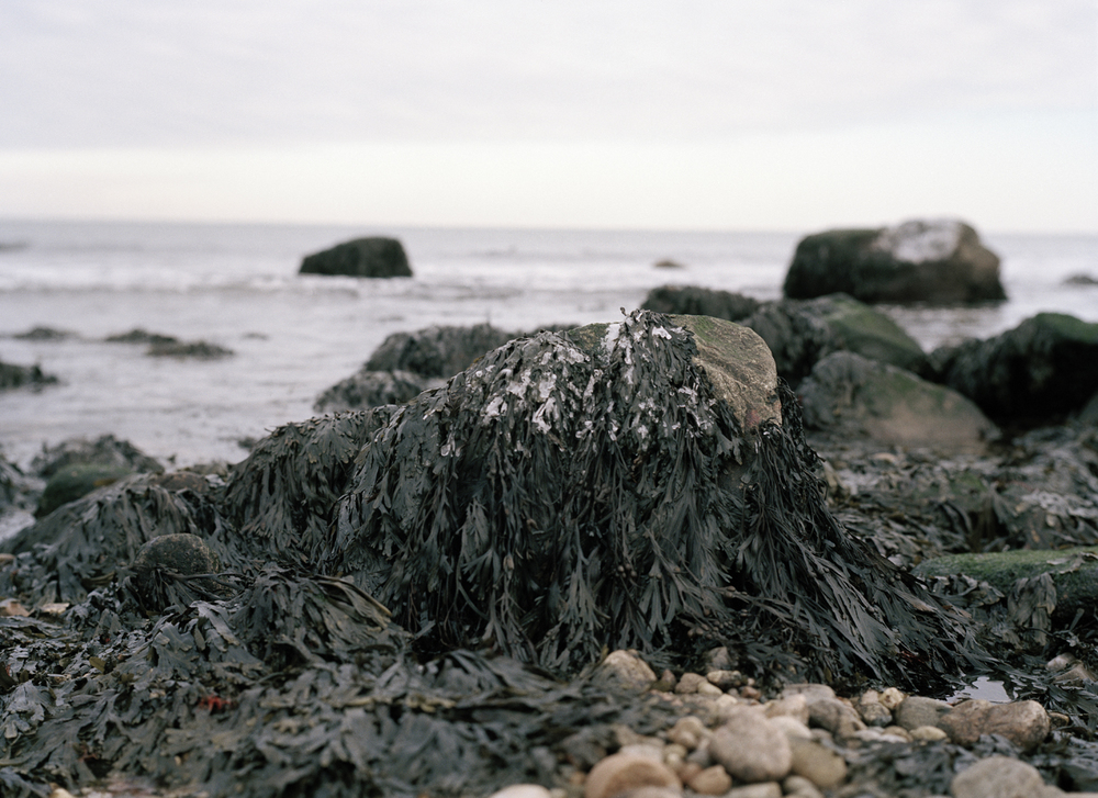 Kelp in the winter at Montauk II