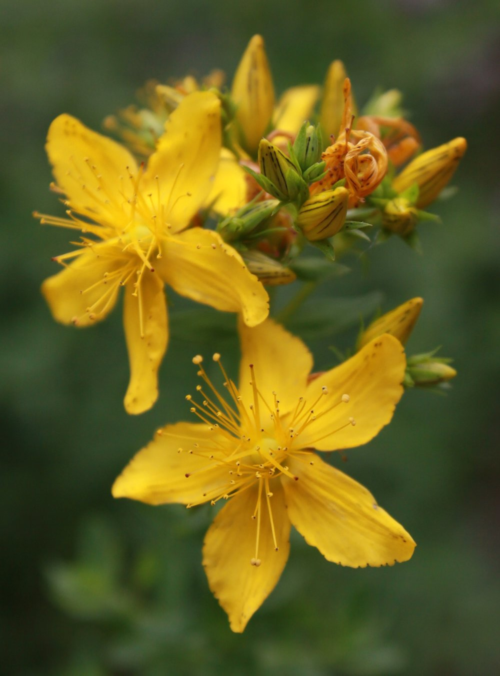 St. John's Wort 1 (c) Copyright All Rights Reserved Laura Zielinski 2016.jpg