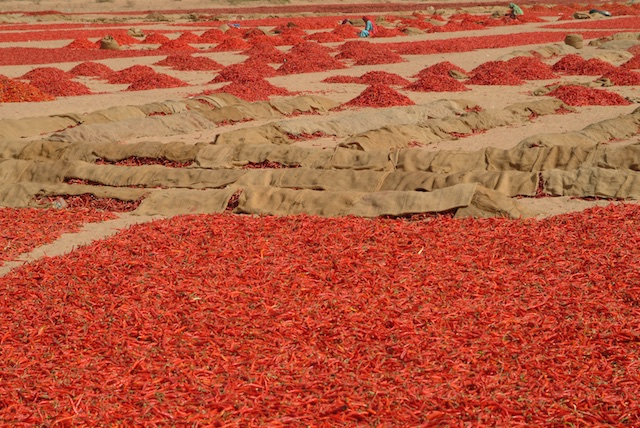 Drying chillies, near Nimaj, Rajasthan