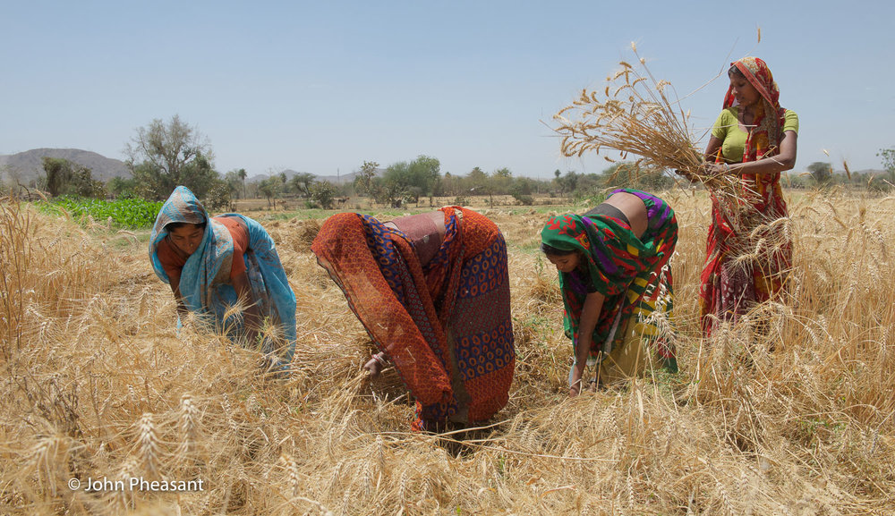 Wheat harvesting in Kotra