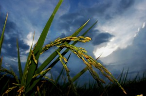 Rice_stalks_and_flowers-SPL