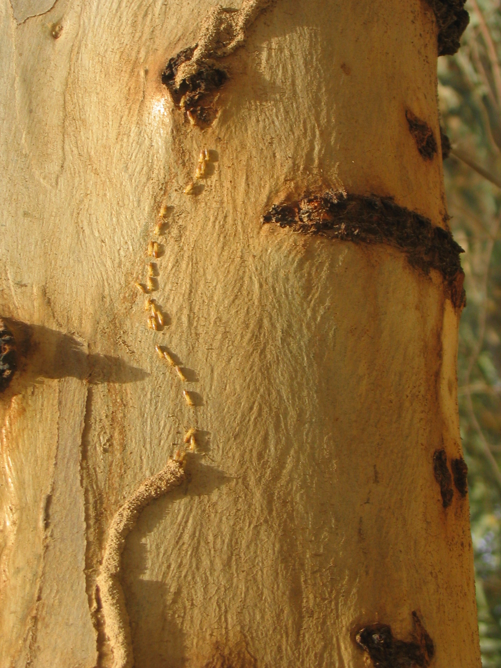 Termites on Eucalyptus Tree.JPG