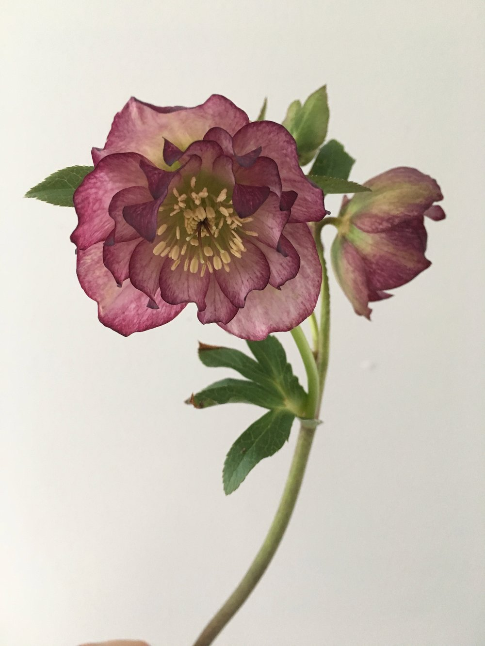 Hydrating Hellebores