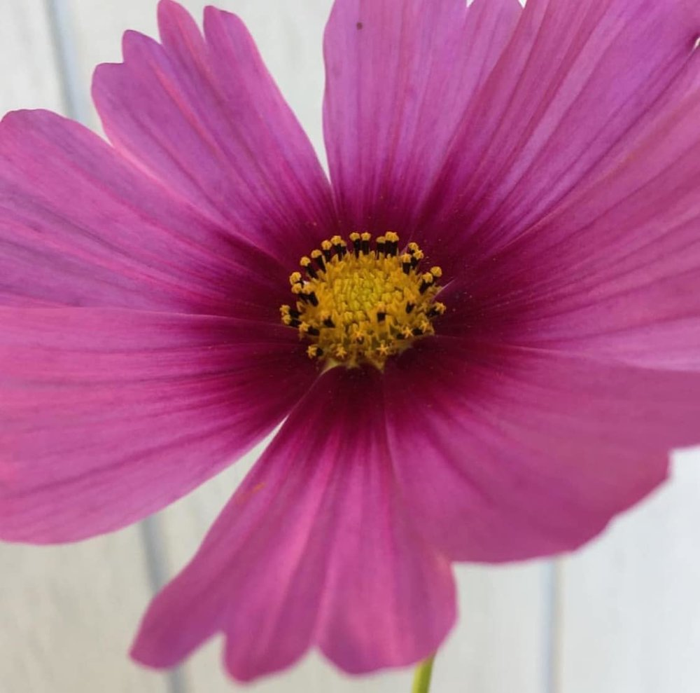 Why you should grow cosmos flowers from team flower file001 2 1eg izmirmasajfo
