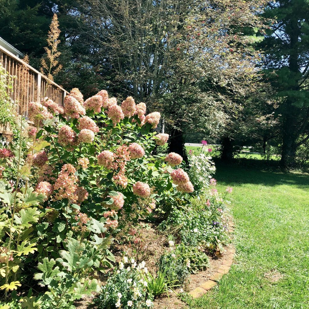 Limelight Hydrangea in the garden in the September following the filming of this video