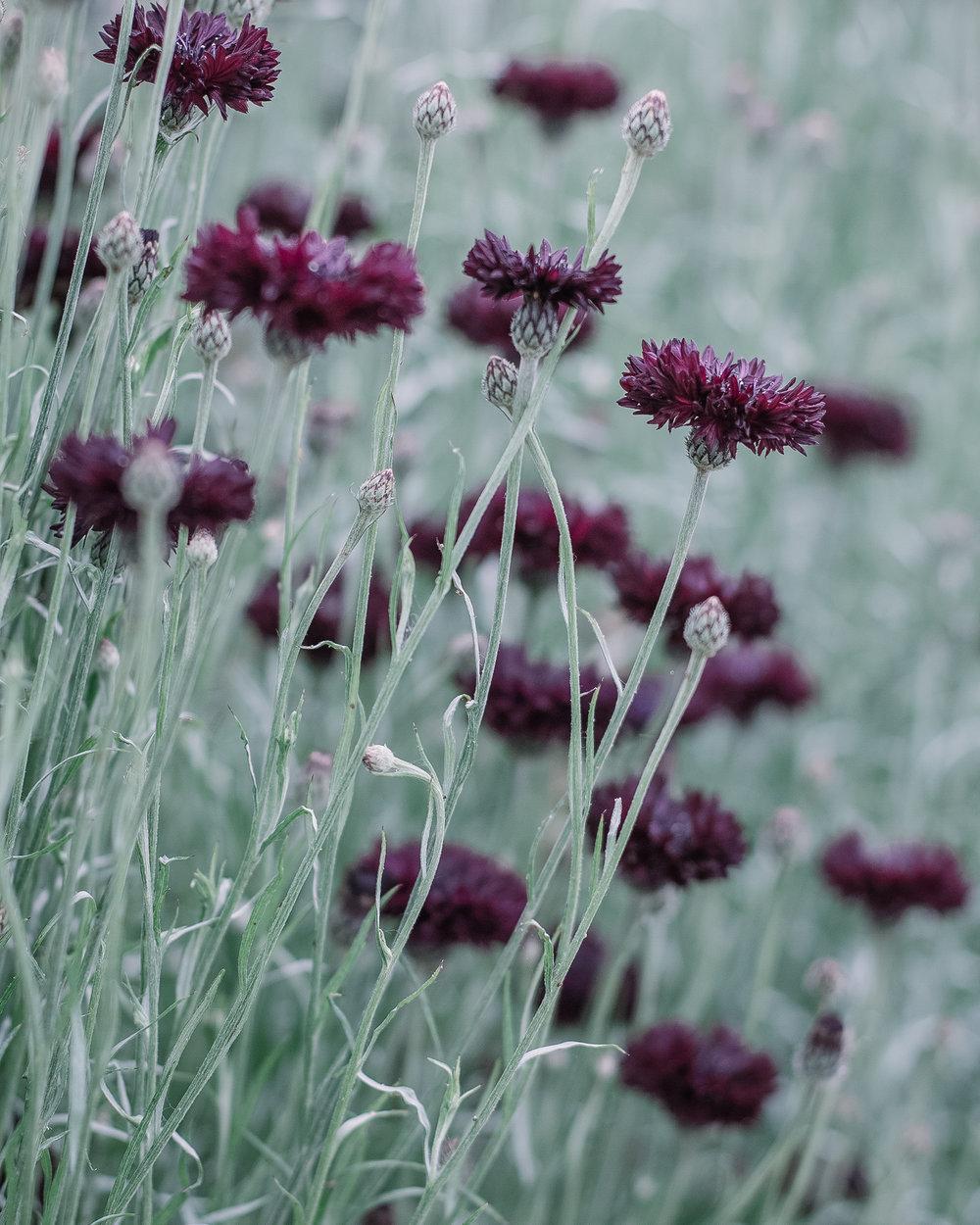 Cornflowers Rona Wheeldon Flowerona-1.jpg