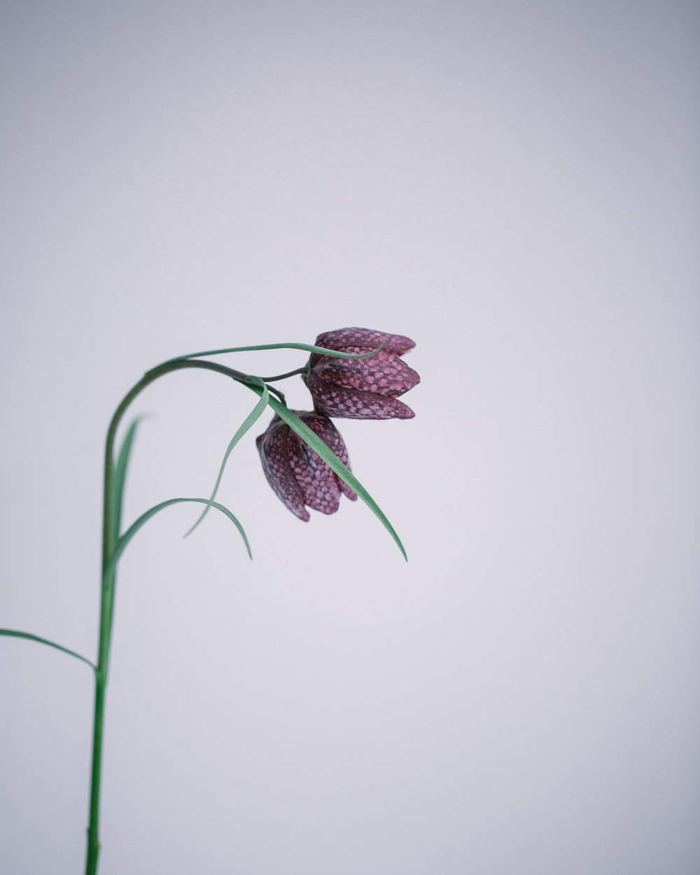 Fritillaria by Rona Wheeldon Flowerona-1.jpg