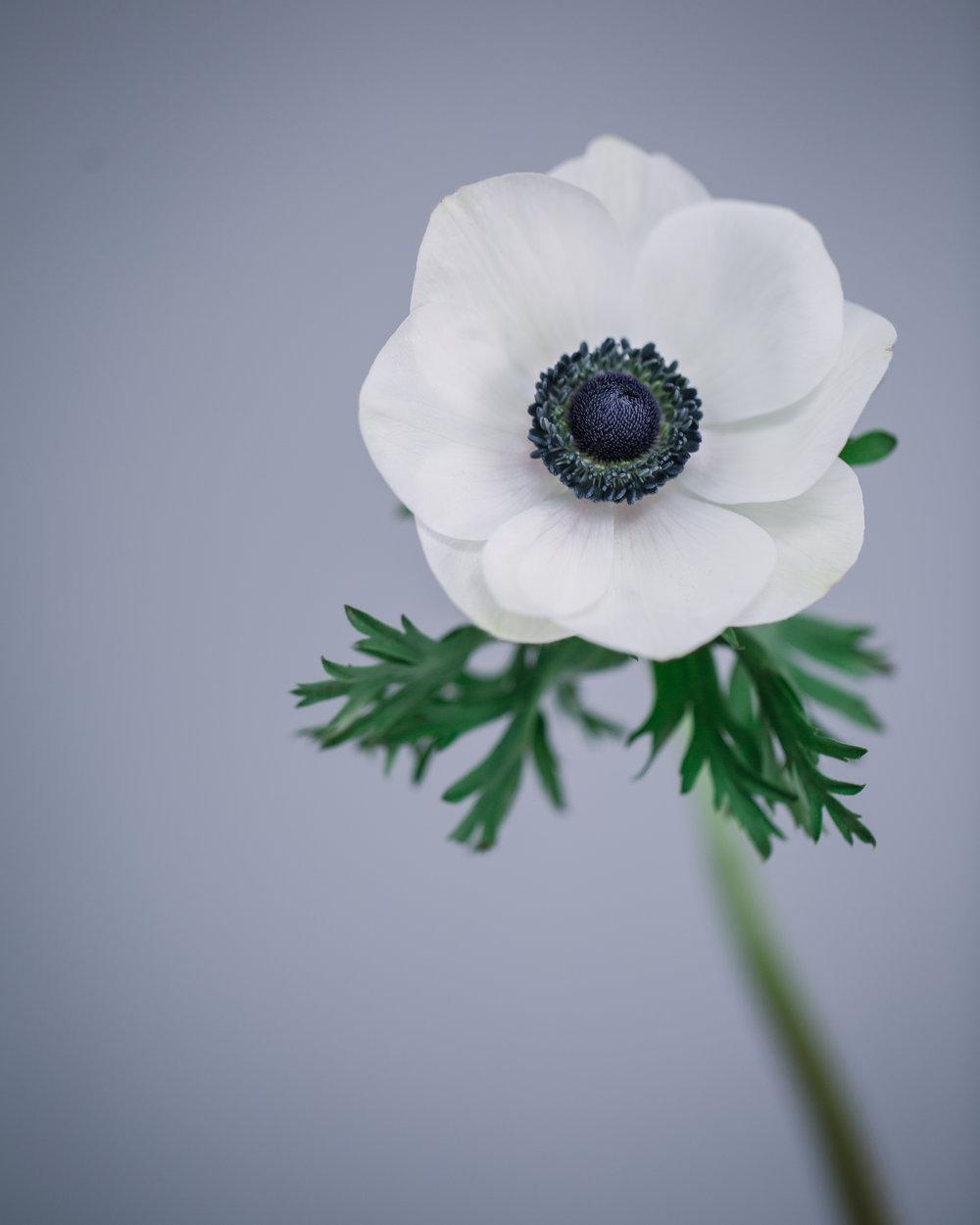 White Anemone by Rona Wheeldon Flowerona-1.jpg